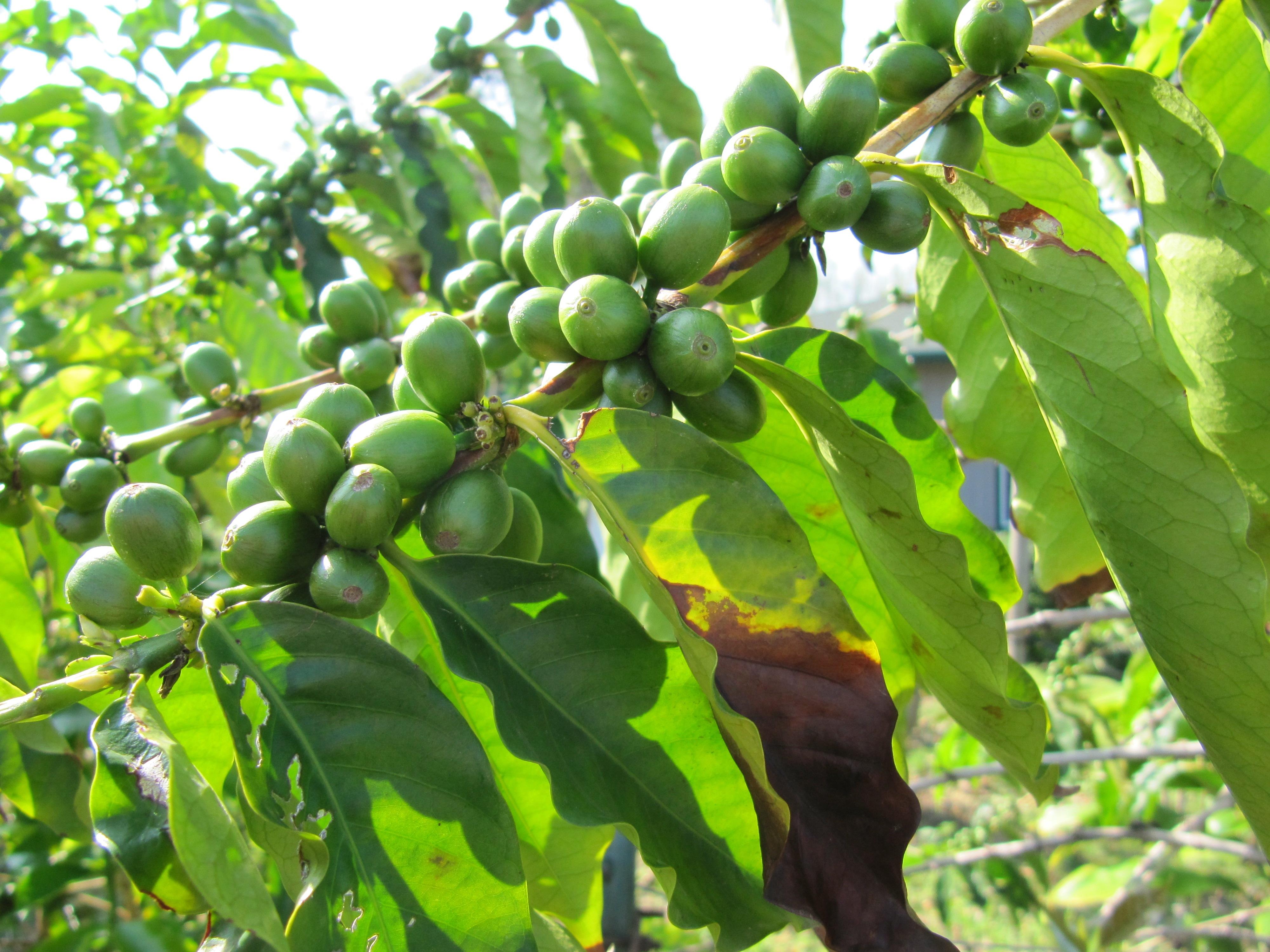 IMG 1727 Where To Buy Kona Coffee Kona Joes Coffee Plantation